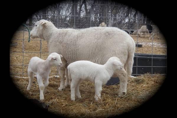 White Dorper Sheep Double Bar D Farms