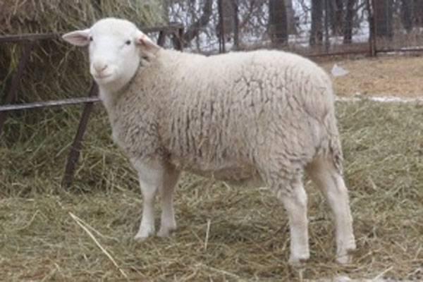 White Dorper Sheep • Double Bar D Farms